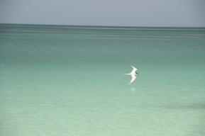 Royal Tern, Holbox Mexico