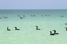 Neotropic Cormorant, Holbox Mexico