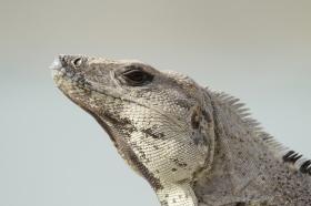 Ctenosaur, Costa Rica