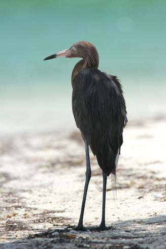 Reddish Egret, Holbox Mexico