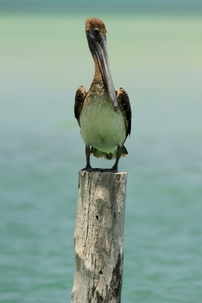 Brown Pelican, Holbox Mexico