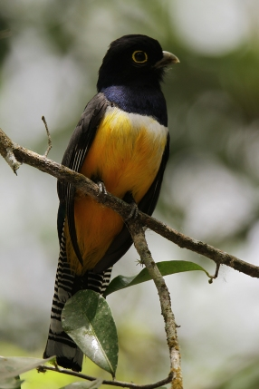 Gartered Trogon, Mexico