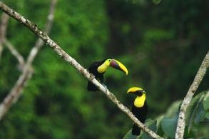 Chestnut-mandibled Toucan, Costa Rica