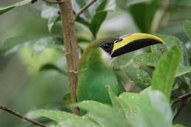 Emerald Toucanet, Tikal Guatemala