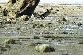 Common Black Hawk, Costa Rica