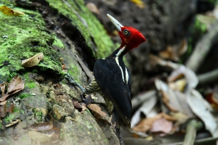 Pale-billed Woodpecker, Costa Rica