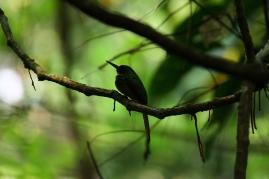 Rufous-tailed Jacamar, Costa Rica