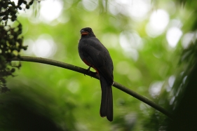 Slaty Tailed Trogon, Costa Rica