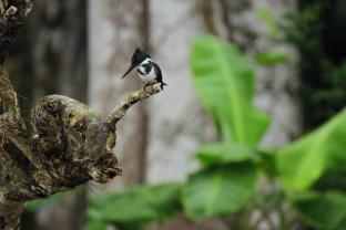 Amazon Kingfisher, Costa Rica