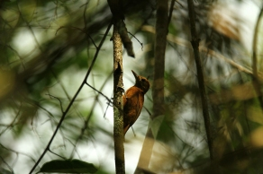 Smoky Brown Woodpecker, Costa Rica