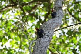 Lineated Woodpecker, Costa Rica