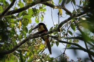 Collored Aracari, Costa Rica