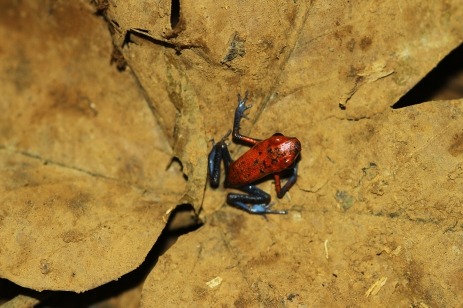 Blue jeans poison frog, Costa Rica