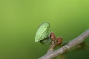 apoda limacodes catterpillar, Bomenpark