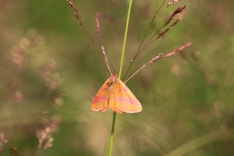 Lythria cruentaria