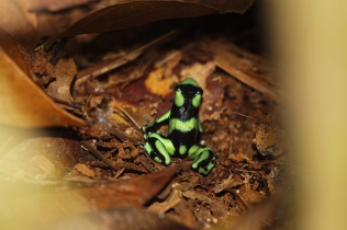 Black and Green Poison Dart Frog (Pacific), Costa Rica