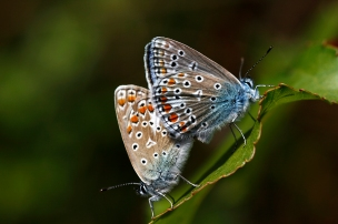 Common Blue, Netherlands