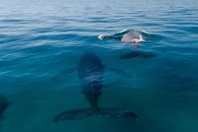humpback whales at Moreton Bay