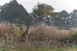Kangaroo Wamuran Australia