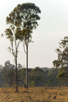 to icons, the kangaroo and the gum tree