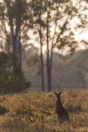 kangaroo, Wamuran Australia