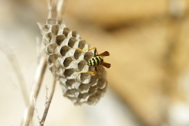 wasp, Spain