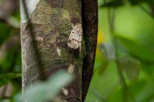 White Cicade, Khao Sok, Thailand