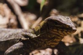 Monitor Lizard, Khao sok, Thailand