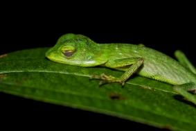 Lizard, Khao Sok, Thailand