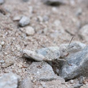 grasshopper, Spain