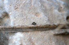 jumping Spider, Spain