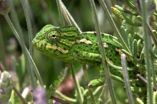Common Kameleon, Spain
