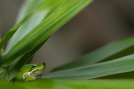 Eastern dwarf tree frog