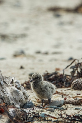 Baby Variable Oystercatcher