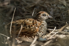 rare Black breasted Button-Quail