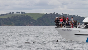 Bay of Islands Bottlenose Dolphins