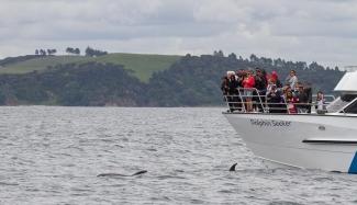 Bay of Islands Bottlenose Dolphins
