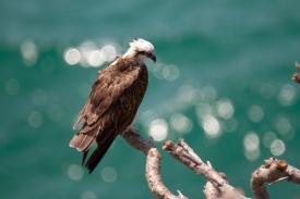 Osprey on Fraser