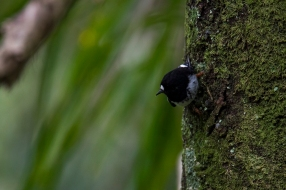 Tomtit at Paihia bush walk