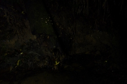 Glowworms at Paihia bushwalk