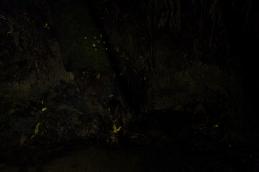 Glowworms at Paihia bushwalk