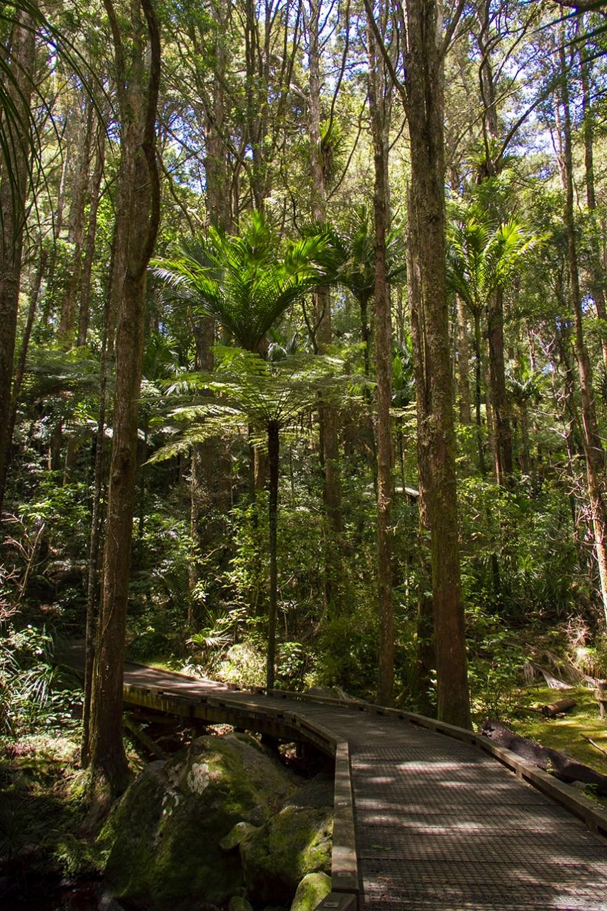 kauri forest loop track