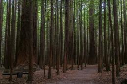 Redwoods, Rotorua