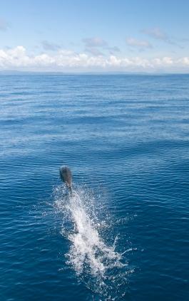 short beaked common dolphin