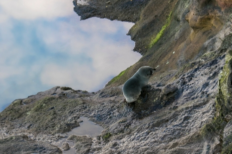 Fur seal cub