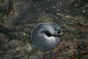 Sleeping beauty, fur seal cub