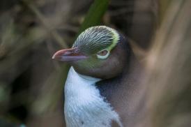 yellow eyed Penguin