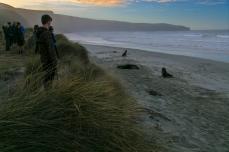 observing Hooker's Sea Lions
