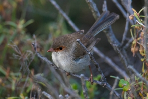 superb fairywren female