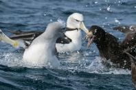 Giant sea birds